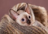 Cornish Rex kitten close-up portrait
