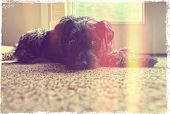 a cute schnauzer done with a retro vintage instagram like filter