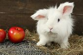 foto of dwarf rabbit  - White cute rabbit with apples on hay - JPG