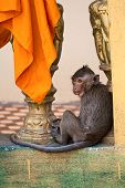 Monkey In The Buddhist Temple