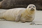 picture of inquisition  - Resting on the beach sand is a white inquisitive sea lion - JPG