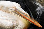 Close Up Pelican