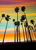 foto of row trees  - California sunset Palm tree rows in Santa Barbara US  - JPG