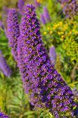 Echium candicans pride of Madeira purple flowers in California