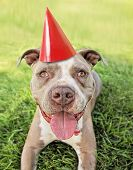 picture of mongrel dog  - a pit bull terrier with a red party hat on - JPG