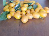 foto of tangelo  - kumquat fresh and ripened in the foreground - JPG