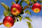 stock photo of apple orchard  - Shiny delicious apples hanging from a tree branch in an apple orchard - JPG