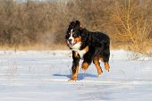 Bernese dog run