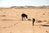 Two cream colored donkeys walking in desert