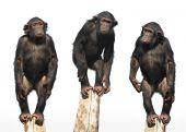 três chimpanzés