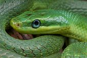 Emerald rat snake / Rhadinophis prasinum