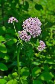 Medicinal Herb Valerian
