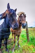 picture of iceland farm  - Icelandic Ponies on a farm in Iceland - JPG