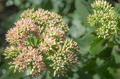 Showy Stonecrop Flowers