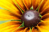 stock photo of black-eyed susans  - Blooming Rudbeckia  Black - JPG