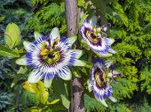 Blue Passion Flower (passiflora Caerulea)