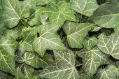 stock photo of english ivy  - European ivy (Hedera helix) leaves as green background