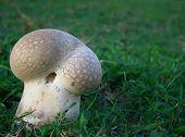 Large Mushroom