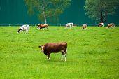 cow feeding on the meadow