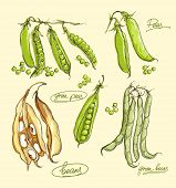 image of green pea  - Vector realistic illustration set of green peas - JPG