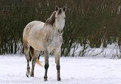 Grey horse in the farm