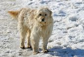 picture of herding dog  - Funny hungarian herding dog in a horse farm at winter time - JPG