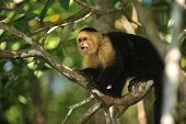 White-faces Capuchin Monkey In A Tree