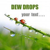 Fresh morning dew and ladybugs