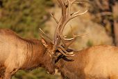 picture of domination  - a pair of bull elk fight for dominance in the rut - JPG