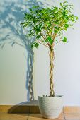 Ficus benjamina - background photo with flower and its shadow