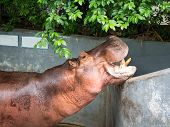 pic of aquatic animal  - Mouth opened Hippopotamus The semi - JPG