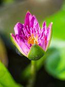 Beautiful Tropical Pink Lotus