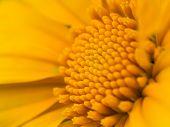 picture of cosmos  - Sulfur Cosmos or Yellow Cosmos Close up Macro - JPG