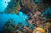 stock photo of sweeper  - Shoal of Glassfish  - JPG