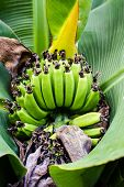 Banana Blossom In The Garden