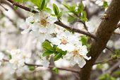 Plum-tree White Flowers.