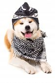 picture of akita-inu  - Beautiful Akita Inu dog posing in studio - JPG