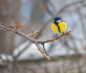 Blue Tit On Branch (parus Caeruleus)