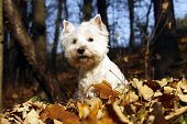 image of west highland white terrier  - West Highland White Terrier  - JPG