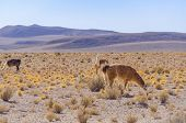 Bolivia, Antiplano - landscape with vicunas
