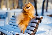 red spitz dog on a bench