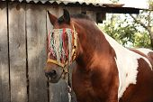 Latvian Draught Horse Portrait In Summer