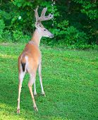 pic of stare  - Whitetail buck staring at something next to the forest - JPG