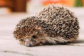 Small Funny Hedgehog On Wooden Floor