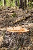 stock photo of deforestation  - Pine stump after deforestation close up - JPG