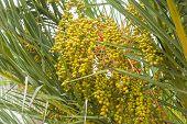 Date palm fruit.