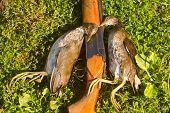 picture of snipe  - gun and two crake on successful hunting on bogs - JPG