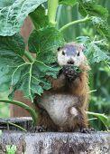 image of groundhog  - Groundhog eating my sunflower in back yard - JPG