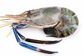 Giant freshwater prawn, Fresh shrimp isolate on white background