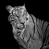 stock photo of sundarbans  - Black and White Tiger hungry animal wildlife - JPG